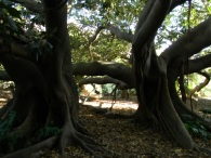 Ficus della Baia di Moreton a Cagliari - I due esemplari della cava romana all'Orto Botanico