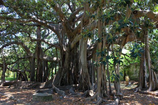 Ficus macrophylla della città di Palermo - La Sagrada Familia degli alberi, Orto Botanico