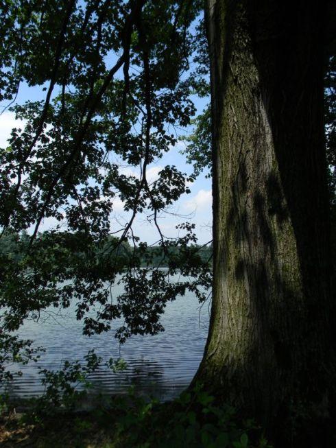 La quercia rossa secolare sul bordo del lago, Parco La Mandria