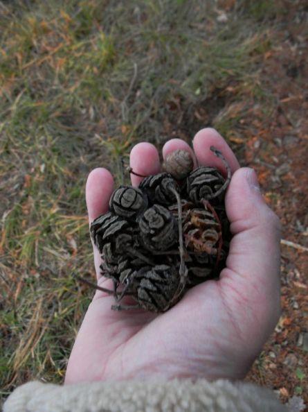 La Mandria, inaugurazione itinerari per cercatori di alberi, frutti di metasequoia nell'area di Villa Lago