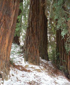 Homo Radix. Appunti per un documentario, regia di Manuele Cecconello - Le cinque sequoie più vecchie d'Italia