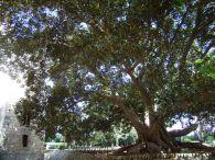 Ficus macrophylla d'Italia - Ficus nel parco del Castello di Donnafugata