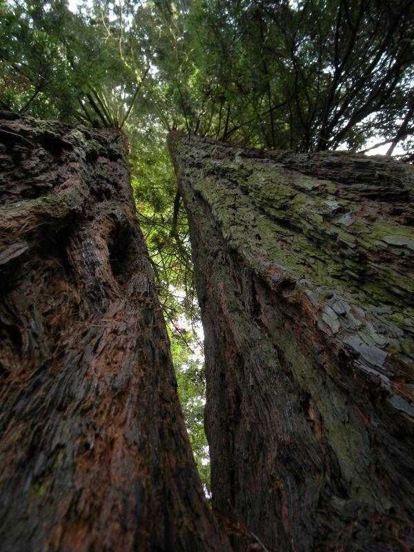 Giona delle sequoie - Toscana, Parco di Villa Sammezzano a Reggello, la sequoia gemella