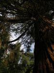 Giona delle sequoie - Toscana, Parco di Villa Sammezzano a Reggello, l'unica sequoia gigante