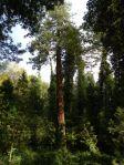 Giona delle sequoie - Toscana, Parco di Villa Sammezzano a Reggello, altezze