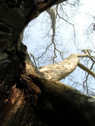 Grandi alberi di Roma - All'interno del platano di 400 anni
