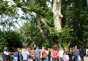 """Passeggiata d'autore a Milano - Giornata """"L'alber de Milan"""", 12 maggio 2012 - Fermata sotto le fronde del grande platano"""