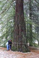 Sequoie d'Italia ~ Misurando il tronco delle sequoie di Aprigliano: si toccano gli 8 metri di circonferenza.