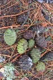 Sequoie d'Italia ~ I più larghi coni di sequoie d'Italia si incontrano in Sila.