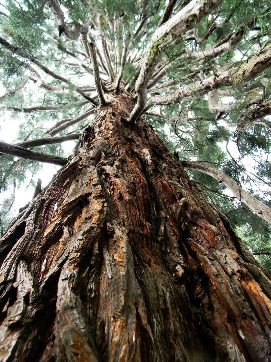 Sequoie d'Italia ~ Magnifica sequoia del giardino di Villa Wuhrer a Bee (VB).