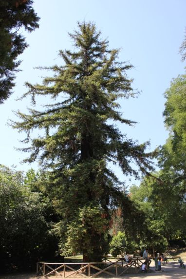 Sequoie d'Italia ~ La sequoia del Parco Melloni, Bologna.