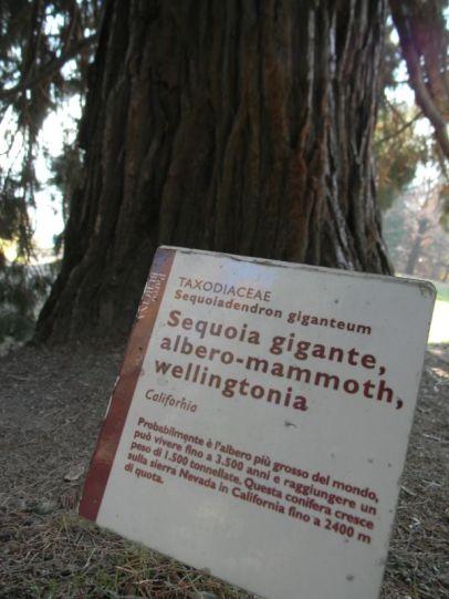 Sequoie d'Italia ~ Sequoia gigante o albero mammuth del Parco Burcina, Pollone (BI).