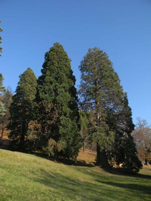 Sequoie d'Italia ~ Le sequoie del parco di Villa Piazzo, Pettinengo.