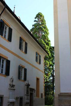 Sequoie d'Italia ~ Sequoia a Caldaro sulla Strada del Vino (BZ)