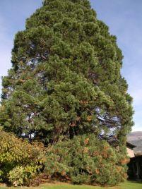 Sequoie d'Italia ~ Giardino di Villa Binel, Champdepraz (AO).