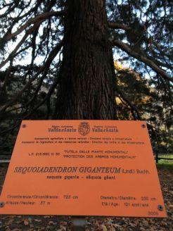 Sequoie d'Italia ~ Albero monumentale in Valle d'Aosta. La sequoia del parco Baron Gamba a Chatillon (AO).