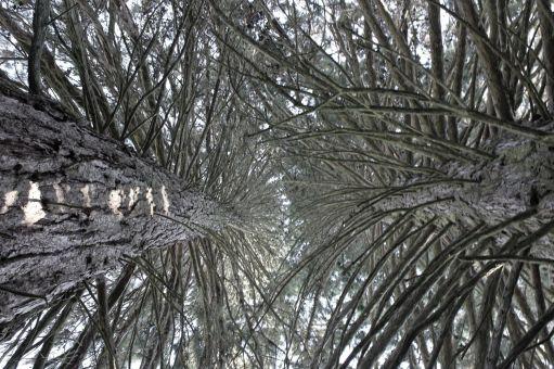 Sequoie d'Italia ~ Giochi di luce delle ramificazioni delle sequoie di Fennhals, Cortaccia (BZ).