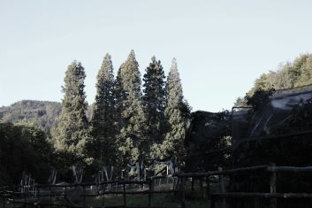 Sequoie d'Italia ~ Filare di sequoie a Fennhals, Cortaccia (BZ).