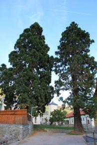 Sequoie d'Italia ~ Coppia di conifere accanto alla Casa delle Musica di Malles Venosta (BZ).