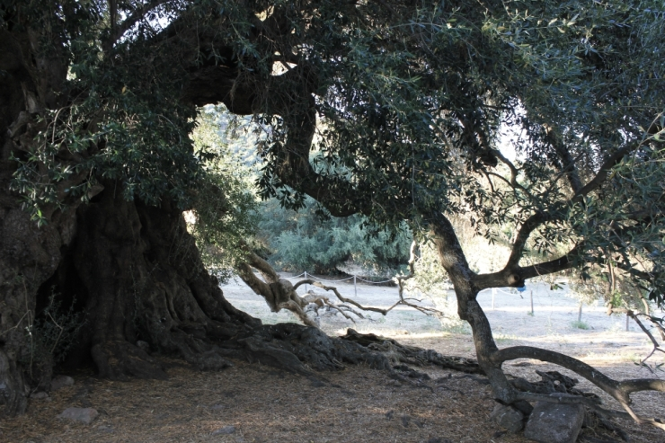 The Wild Olive Tree in Luras, more than 3000 years old!
