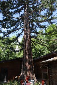 Giona delle sequoie - Sequoia nel parco basso di Palazzo Ducale / Parco dei Pini, Pavullo nel Frignano (MO)