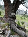 I più antichi larici delle Alpi - Lou merze gross a Pietraporzio, Piemonte