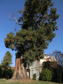 Sequoie d'Italia ~ La sequoia sbilenca del giardino di Villa Frassati, Pollone (BI).
