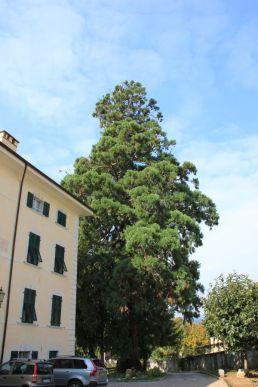 Sequoie d'Italia ~ La sequoia del giardino delle Suore orsoline, Povo, Trento.