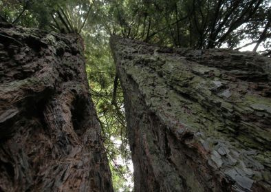 Sequoie d'Italia ~ I due tronchi della Sequoia Gemella di Reggello (FI).