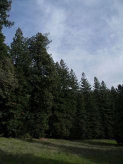 Sequoie d'Italia ~ Corona di sequoie al Parco del Castello di Sammezzano (FI).