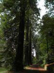 Giona delle sequoie - Viale a sequoie salendo al Castello di Sammezzano, Reggello (FI)