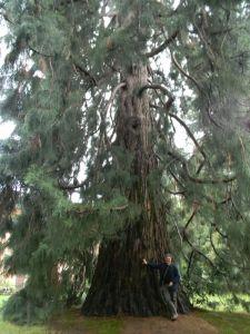 sequoia_bee_fratus