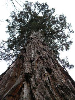 Sequoie d'Italia ~ La sequoia dei giardini del Castello del Catajo, Battaglia Terme (PD).