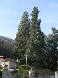 Sequoie d'Italia ~ Le gemelle giganti di Roccavione (CN).