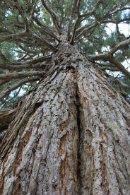 Sequoie d'Italia ~ Sequoia al parco di Salsomaggiore Terme (PR).
