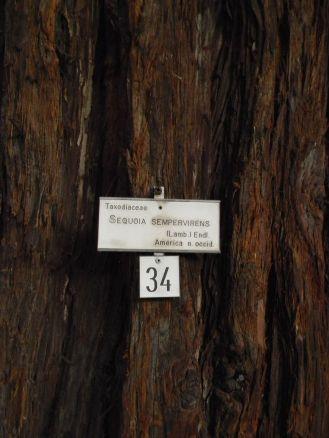 Sequoie d'Italia ~ La sequoia secolare dell'Orto botanico di Genova.