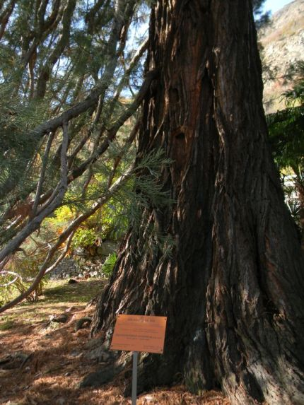 Sequoie d'Italia ~ Il vaso tronco della sequoia di Villa Binel, Champdepraz (AO).