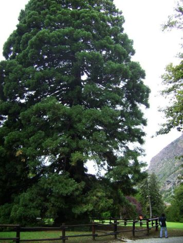 Sequoie d'Italia ~ Una delle maggiori conifere della Valle d'Aosta, la grande sequoia del parco Baron Gamba a Chatillon (AO).