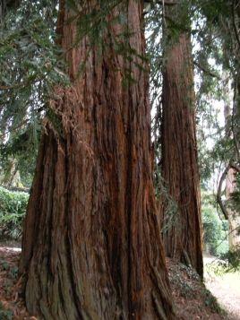 Sequoie d'Italia ~ Sequoie del parco di Villa Pallavicino, Stresa (VB).