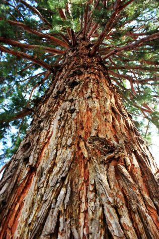 Sequoie d'Italia ~ Il grande esemplare di Trento.
