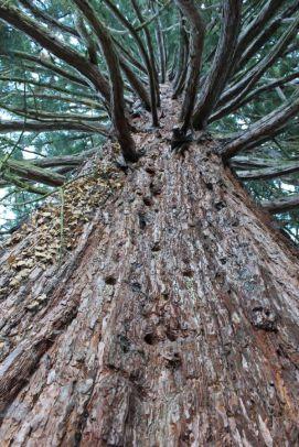 Sequoie d'Italia ~ Il naturdenkmal del Maso Laitachof, Salorno (BZ).
