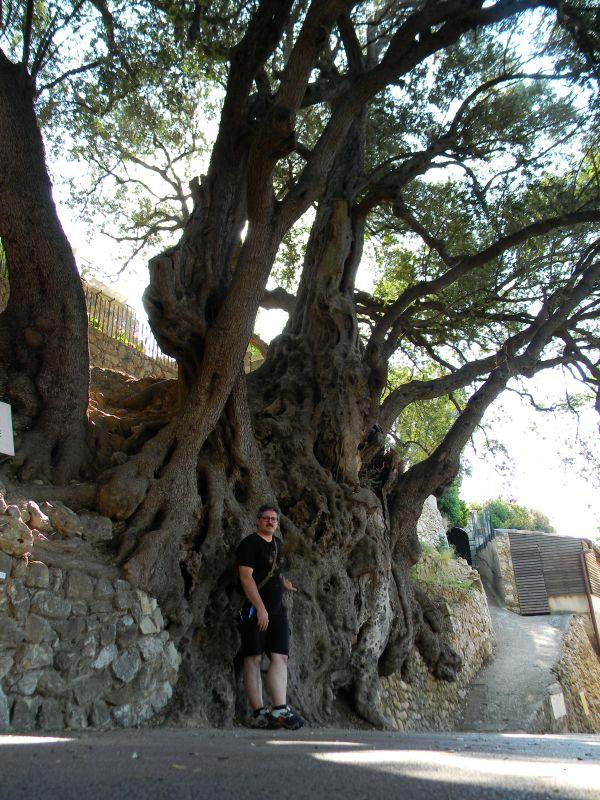 Ulivo bimillenare di Roquebrune - L'Homo Radix ai piedi del grande albero francese