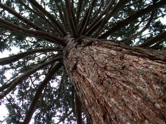 Sequoie d'Italia ~ La proiezione verticale di una maestosa sequoia.
