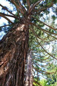 Sequoie d'Italia ~ Sequoie a Pavullo nel Frignano.
