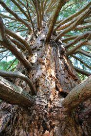 Sequoie d'Italia ~ Il grande tronco di una delle maggiori sequoie di Pavullo nel Frignano.