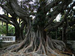 Ficus di Sanremo - Il gigante di Villa Zirio, 15 metri di circonferenza del tronco