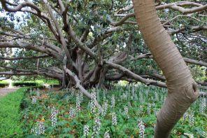 Il Ficus Camminatore di Villa Malfitano Whitaker a Palermo