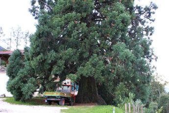 Sequoie d'Italia ~ La maestosa sequoia del Maso Laitachof, Frazione Bucholz, Salorno (BZ).