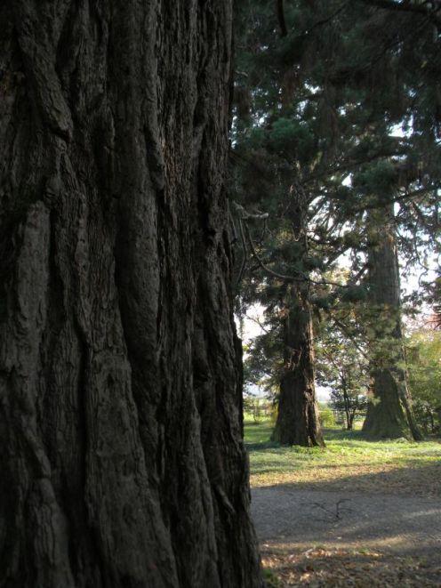 Sequoie d'Italia ~ Gruppo di sequoie nel parco privato di Villa Pesente Agliardi, Paladina (BG).
