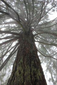 Sequoie d'Italia ~ Le nebbie avvolgono le sequoie di Aprigliano, Parco della Sila, Calabria.